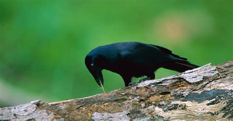 crows clever   learn  shell game   york times
