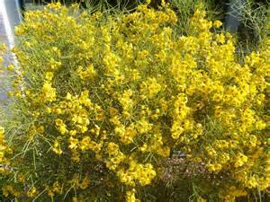 Flowering Bushes with Yellow Flowers