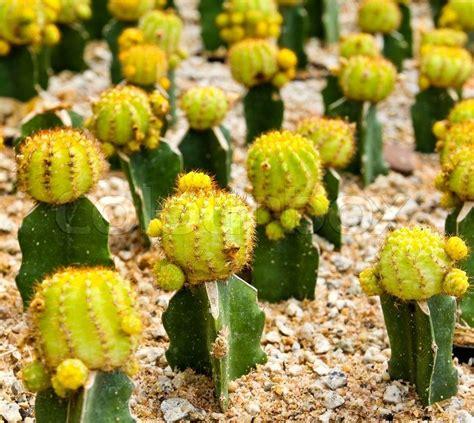 Cactus in Nong Nooch Tropical Botanical Garden, Pattaya ...
