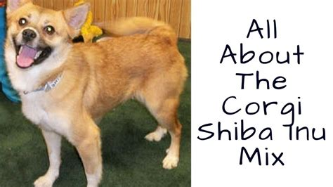 All About The Corgi Shiba Inu Mix