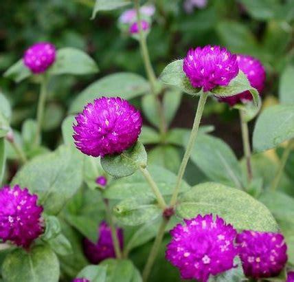 jual tanaman bunga kancing bibitbungacom