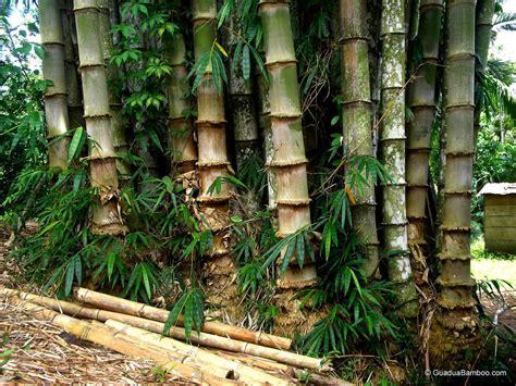 perbedaan morfologi antara bambu kuning bambusa vulgaris
