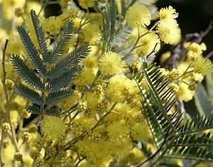 Mimosa Résistant Au Froid : le mimosa clat d or de l hiver ~ Melissatoandfro.com Idées de Décoration