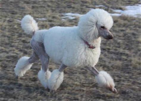 poodle hair cuts