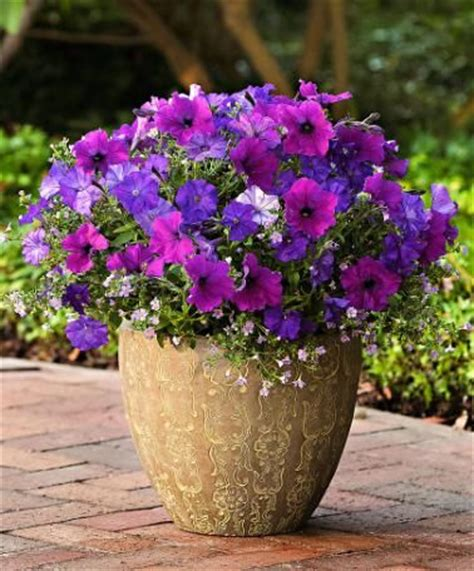 wave petunias in pots petunias shock wave denim easy wave violet with lavender bacopa mixed containers pinterest