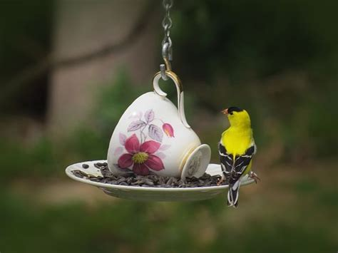 bright yellow male goldfinch enjoys sunflower seeds