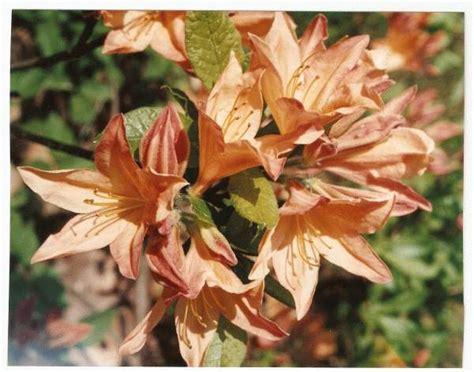 rododendrs vasarzaļais japānas oranžs kont 3 l 40 20 cm 4 eur 5 00 uz vietas uzdot jautājumu