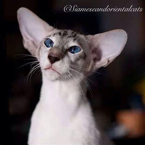 Big Ears Oriental Shorthair Cat Flawless House Cats