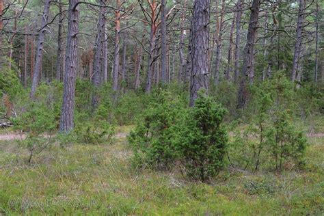 Kadiķi priežu mežā - Priedes (Pinus) - redzet.eu