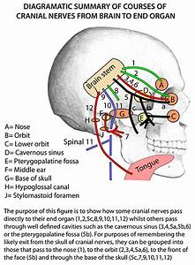Instant Anatomy - Head And Neck - Nerves