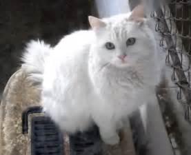 turkish angora cats turkish angora cat in ankara zoo different cat breeds