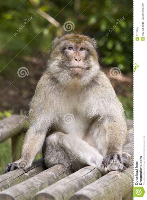 cheeky monkey takes  pee vector illustration