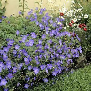 geranium vivace planter et tailler ooreka With modeles de rocailles jardin 4 gypsophile planter et cultiver ooreka