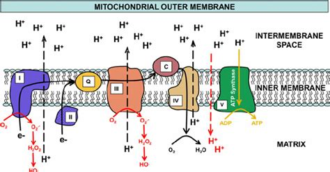 Generation Of Proton Gradients Across Membranes by Electron Movement Is Shown Through The Mitochondrial