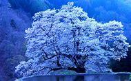 Nature Wallpaper Spring Tree