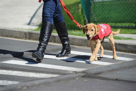 Blind Foundation Guide Dogs
