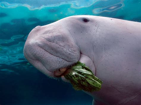 What The Dugong Is This Creature?