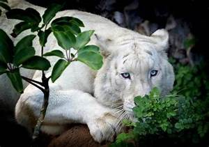 Beautiful White Lion with blue eyes | Cool Animals and ...