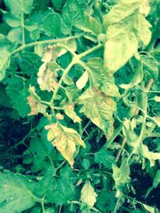 Tomato Plant Diseases Yellow Leaves