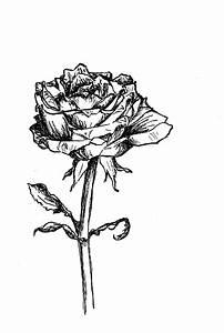 Bilder Schwarz Weiß Gemalt : scriptol zeichnung rose of england blog by bambi ~ Eleganceandgraceweddings.com Haus und Dekorationen