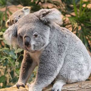 Eora the Koala Emerges in Beauval - ZooBorns