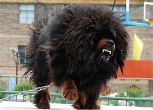 #tibetan #mastiff My future guard dog. =D Doohhh, he's so ...