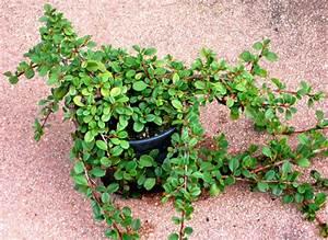 Immergrüne Pflanzen Winterhart : winterharte h ngepflanzen pflanzen f r nassen boden ~ A.2002-acura-tl-radio.info Haus und Dekorationen
