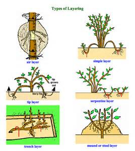 Air Layering Fruit Trees