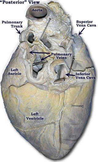 photo   pig heart posterior view