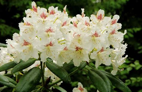 rhododendron varieties enchanting rhododendrons and azaleas in haaga green hearts