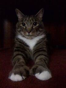 polydactyl cat 17 best images about cats polydactyl on