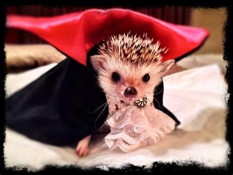 dress   hedgehog hedgehog pet cute