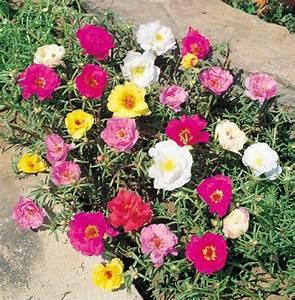 Piante da vaso: Portulaca, Portulaca, Porcellana, Portulaca grandiflora, Portulaca oleracea