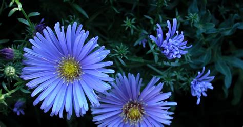 Perennials With Daisy-like Flowers