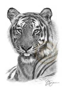Bengal Tiger Pencil Drawing