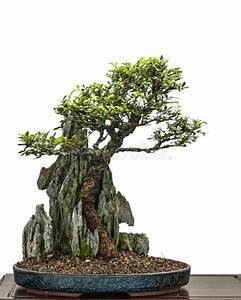 Bonsai Chinesische Ulme : bonsai elm tree zelkove nire is growing over a rock stock image image of chinese isolated ~ Frokenaadalensverden.com Haus und Dekorationen