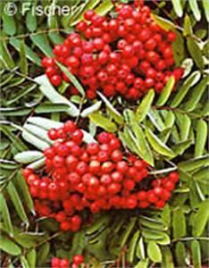 Baum Mit Roten Beeren : wildobst hagebutte sanddorn vogelbeere vitamin c flavonoide ~ Markanthonyermac.com Haus und Dekorationen