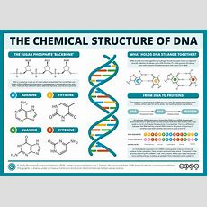 The Chemical Structure Of Dna  Compound Interest