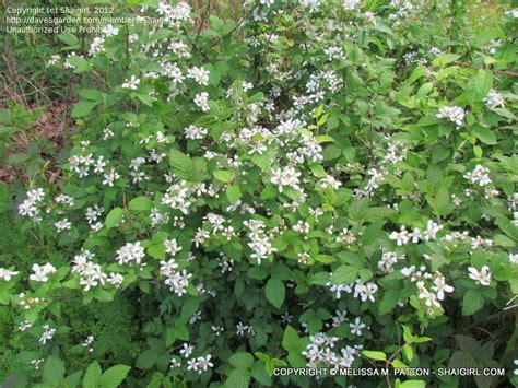 shrub with small white flowers in plant identification closed bushy thorny shrub with small white flowers 1 by shaigirl