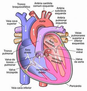 File Diagram Of The Human Heart  Cropped  Pt Svg