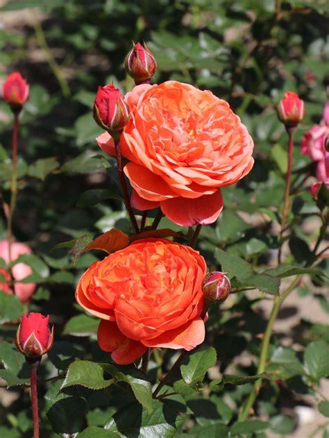 englische strauchrose summer song beste sorten rosen
