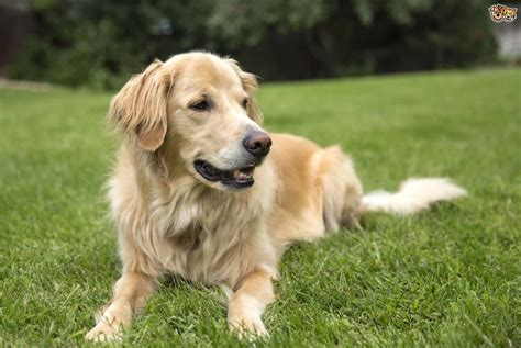 beautiful golden retriever dog  golfiancom
