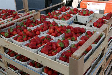 erdbeeren remontierende sorten weniger erdbeeren zu insgesamt besseren preisen bw agrar landwirtschaftliche