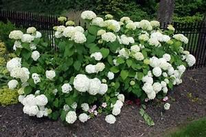 Was Blüht Im Schatten : hortensie annabell diesen standort mag sie am liebsten ~ Markanthonyermac.com Haus und Dekorationen