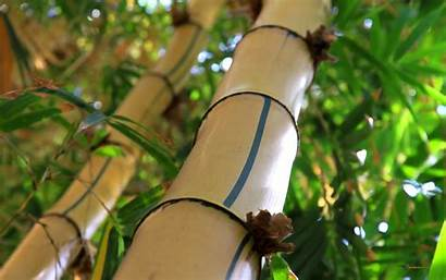 Bamboo Stone Flower Redesign Specs Release Date