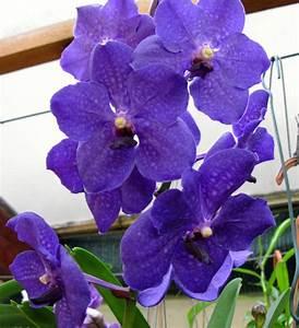 Orchidee Vanda Pflege : vanda royal blue gro r schener orchideen ~ Lizthompson.info Haus und Dekorationen