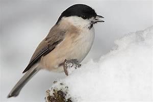 Vogel Mit Roter Brust : winterv gel bestimmen meisen im vergleich nabu ~ Eleganceandgraceweddings.com Haus und Dekorationen
