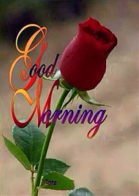 beautiful good morning rose pictures   images