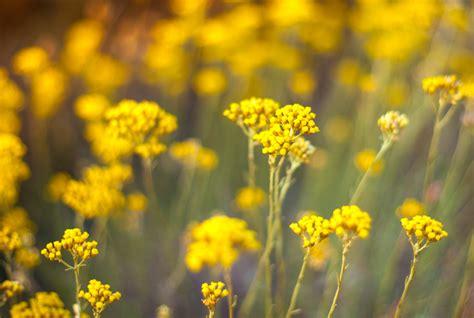 strohblume pflegen giessen duengen schneiden und mehr