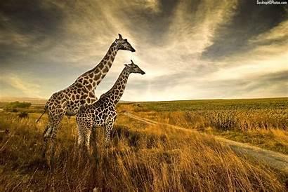 Giraffe Wallpapers Giraffes Funny Animal Biz Pair